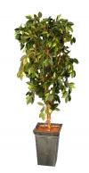 Entree Boompje Ficus 180cm